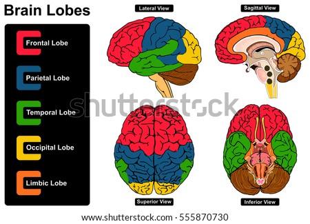 Human Brain Anatomy Set Lateral Sagittal Stock Vector (Royalty Free ...