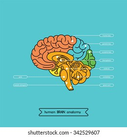 Human brain anatomy structure. Human brain anatomy illustration. Vector human brain anatomy in flat style, easy recolor. Structure of human brain cross section.