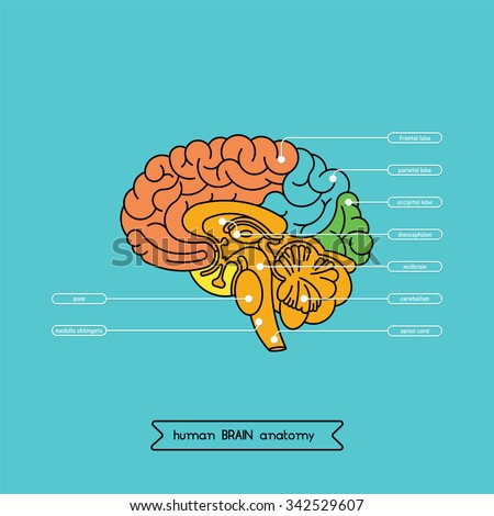 Human Brain Anatomy Structure Human Brain Stock Vector (Royalty Free ...