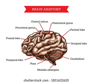 Human brain anatomy, vector sketch medicine aid scheme of body organ, neurosurgery engraved medical visual aid poster of brain with parts names for medical university studying, hospital or clinic