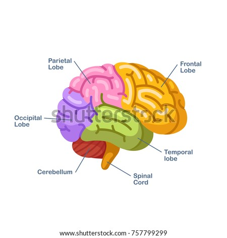 Brain Colored Diagram Complete Wiring Diagrams