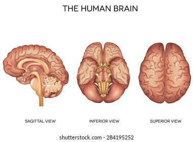 Human brain detailed anatomy from different views, inferior view, superior view and sagittal view.