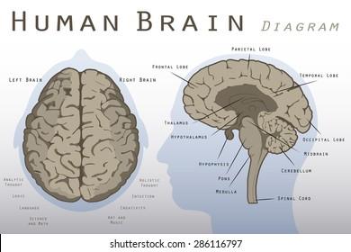 Human brain diagram images stock photos vectors shutterstock ccuart Gallery