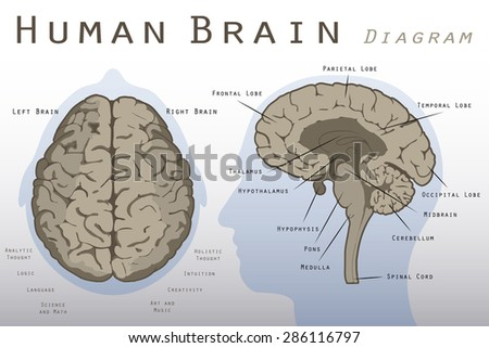 human brain diagram stock vector (royalty free) 286116797 shutterstockhuman brain diagram vector