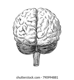 Human brain drawing in the white background, vector illustration.