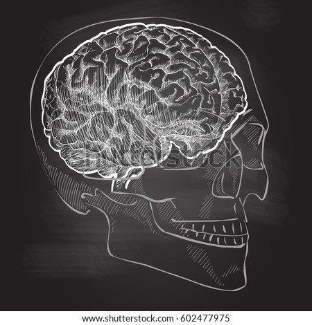 Skull Anatomical Drawing Profile Brain Pictures Picturesboss