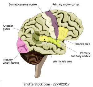 The human brain. language-processing areas in the brain. Brocas area, wernickes area, auditory, visual, somatosensory cortex and other.