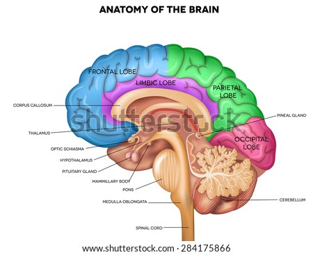 Diagram Of The Brain Corpus Callosum - Custom Wiring Diagram •
