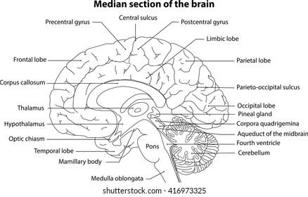 Human Brain, The Brain, Median section of the brain, Anatomy of brain, Anatomy