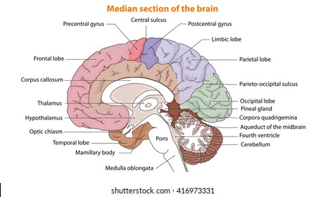 Human Brain, The Brain, Median section of the brain, Anatomy of brain, Anatomy