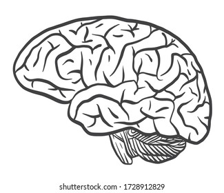 Human Brain on the White Background. Hand Drawn. Free Hand. Vector Illustration. digital printing.