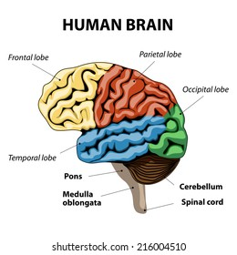 human brain sections. vector illustration