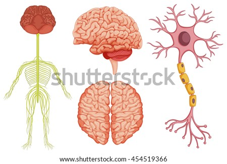 Human Brain Stem Cell Illustration Stock Vector (Royalty Free ...