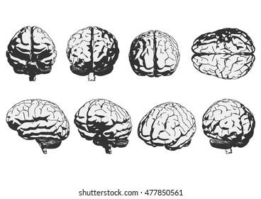 human brain. vector illustration.