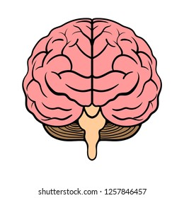 Human Brain vector illustration in front view Isolated on white background.