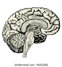 """Human brain - vintage engraved illustration - """"Manuel des hospitalière et des garde-malaldes""""  edited by  Librairie Poussielgue - Paris 1907"""