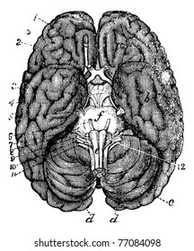Human brain vintage engraving. Old engraved illustration of human brain parts numbered. Trousset encyclopedia.