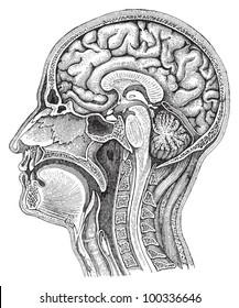 Human brain / vintage illustration from Meyers Konversations-Lexikon 1897