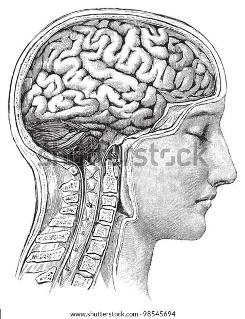 Human brain / vintage illustrations from Die Frau als Hausarztin 1911