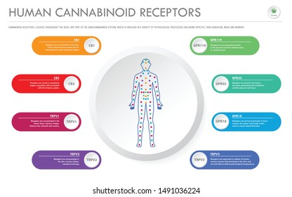 Human Cannabinoid Receptors - Endocannabinoid horizontal business infographic illustration about cannabis as herbal alternative medicine and chemical therapy, healthcare and medical science vector.