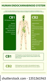 Human cannabinoid system vertical infographic, healthcare and medical illustration about cannabis