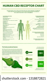 Human CBD Receptor Chart - Endocananbinoid System vertical infographic illustration about cannabis as herbal alternative medicine and chemical therapy, healthcare and medical science vector.