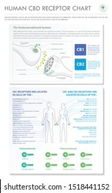 Human CBD Receptor Chart - Endocananbinoid vertical business infographic illustration about cannabis as herbal alternative medicine and chemical therapy, healthcare and medical science vector.