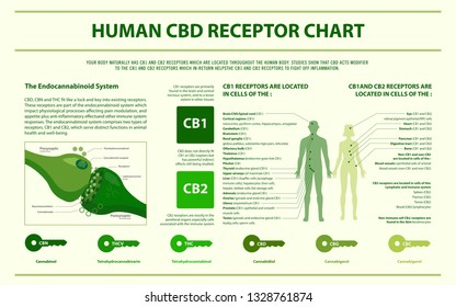 Human CBD receptor chart horizontal infographic, healthcare and medical illustration about cannabis