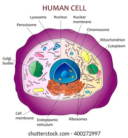 Human cell diagram