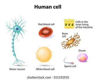 human cell: Motor neuron, Red blood cell and White blood cell, bone cell, sperm cell and ovum