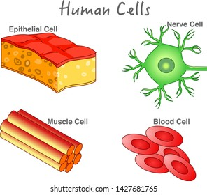 Human cells anatomy. Animal cells structure. Epithelial cell, Muscle cell, blood cell, nerve cell diagram. Drawing line vector illustration.