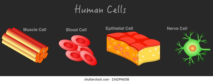 Human cells anatomy. Types. Animal cells structure. Epithelial cell, Muscle cell, blood cell, nerve cell diagram. Biology lesson example. Dark background. illustration. School vector