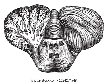 Human cerebellum and cut of the bridge of Varole, vintage engraved illustration. from Zoology Elements from Paul Gervais.