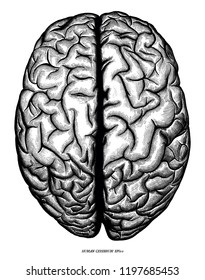 Human cerebrum top view hand draw engraving vintage clip art isolated on white background