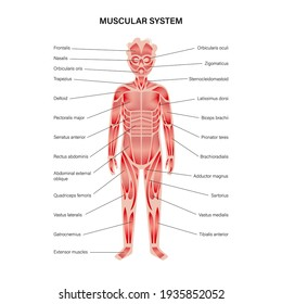 Human child muscular system infographic anatomical poster. Structure of muscle groups of kid in front view. Biceps, trapezius, abs and triceps. Deltoid and adductor, isolated flat vector illustration