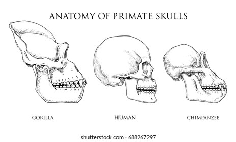 Human and chimpanzee, gorilla. biology and anatomy illustration. engraved hand drawn in old sketch and vintage style. monkey skull or skeleton or bones silhouette. view or face or profile.