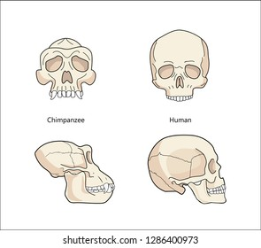 Human And Chimpanzee Gorilla Skull Biology And Anatomy Vector.Evolution Of Skull Comparative Primate Anatomy. Front view or face and profile.