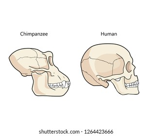 Human And Chimpanzee Skull Biology And Anatomy Vector Illustration. Comparative Primate Anatomy. Comparisons Of The Skull Vector.
