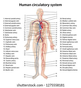 human circulatory system diagram blood circulation diagram stock illustrations  images   vectors  blood circulation diagram stock