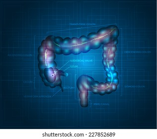 Human colon abstract blue background. Detailed illustration of colon: Ileum, Appendix, Ascending colon, Transverse colon, Descending colon, Sigmoid colon, Rectum and Anal canal.