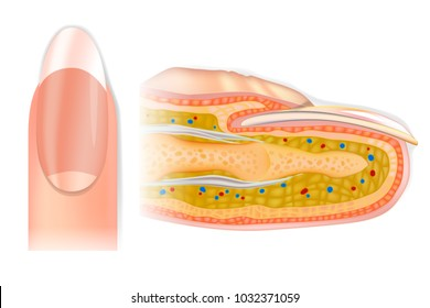 Human cross-section finger structure. The Anatomy of a Finger and Nail. Vector Detailed nail anatomy on a white background