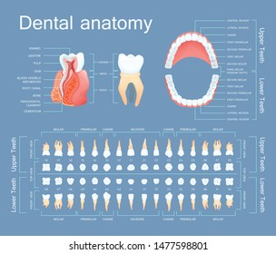 Human dental anatomy. Tooth anatomy numbering infographics. Sectional anatomical structure of the tooth - dentine, pulp, gum, blood vessels, root canal vector illustration
