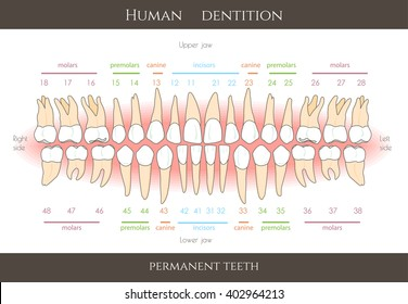 Human dental numbering system infographic. All objects are conveniently grouped  and are easily editable.
