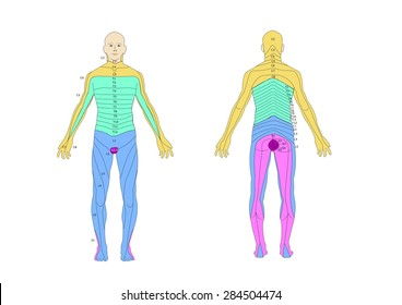 Dermatome Images, Stock Photos & Vectors | Shutterstock on myotomal map, spinal map, us national parks map, deciduous map, somatosensory system, peripheral nerve field, brachial plexus map, blood–brain barrier, sclerotome map, dermatomal distribution map, lumbosacral plexus map, mtdna haplogroup migration map, nerve map, montserrat map, acupuncture ear map, diffusion map, brachial plexus, nervous system map, cervical pain map, thalamus map, referred pain map, myotome map, st. paul light rail map,