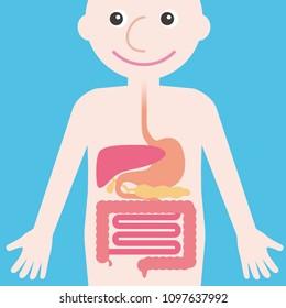 human digestive organs, simplified illustration