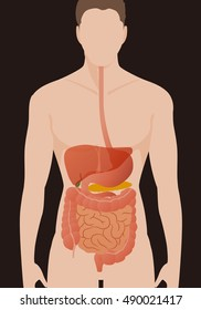 human digestive organs, vector illustration