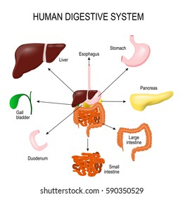 Human Digestive System with all parts: stomach, gall bladder, liver, duodenum, pancreas, large and small intestine. abdomen anatomy. area science and education