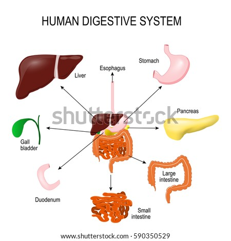 Human Digestive System All Parts Stomach Stock Vector (Royalty Free ...
