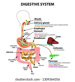 The human digestive system. Anatomical structure. Digestion of carbohydrates, fats and proteins. Enzymes of the gastrointestinal tract, pancreas, liver, gallbladder. Metabolism. Infographics. Vector.