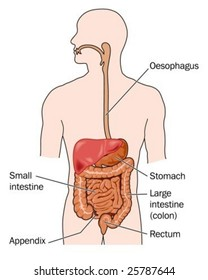 Human digestive system images stock photos vectors shutterstock human digestive system labeled ccuart Images
